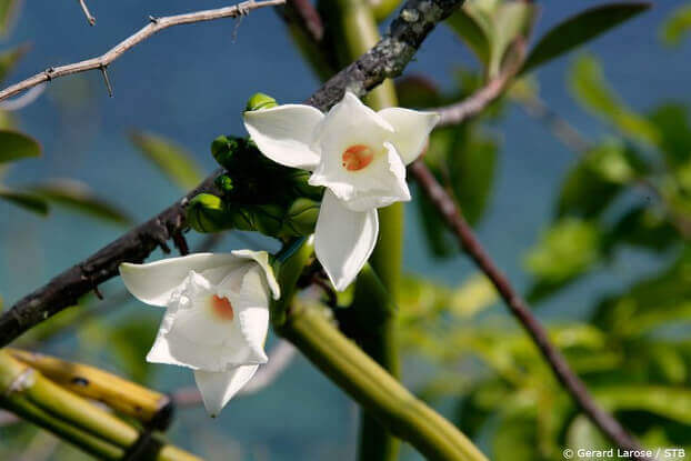 Vaniglia, orchidea, Seychelles