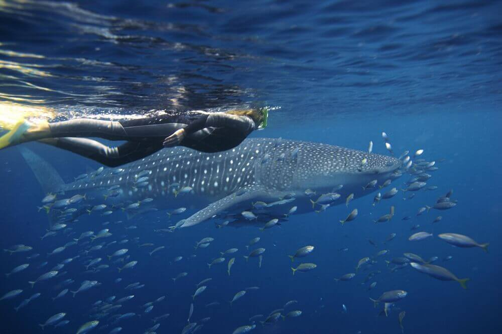 Squalo balena a Ningaloo Reef - Western Australia