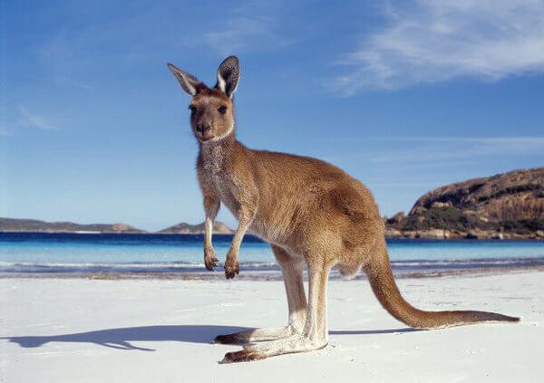 canguro_australia