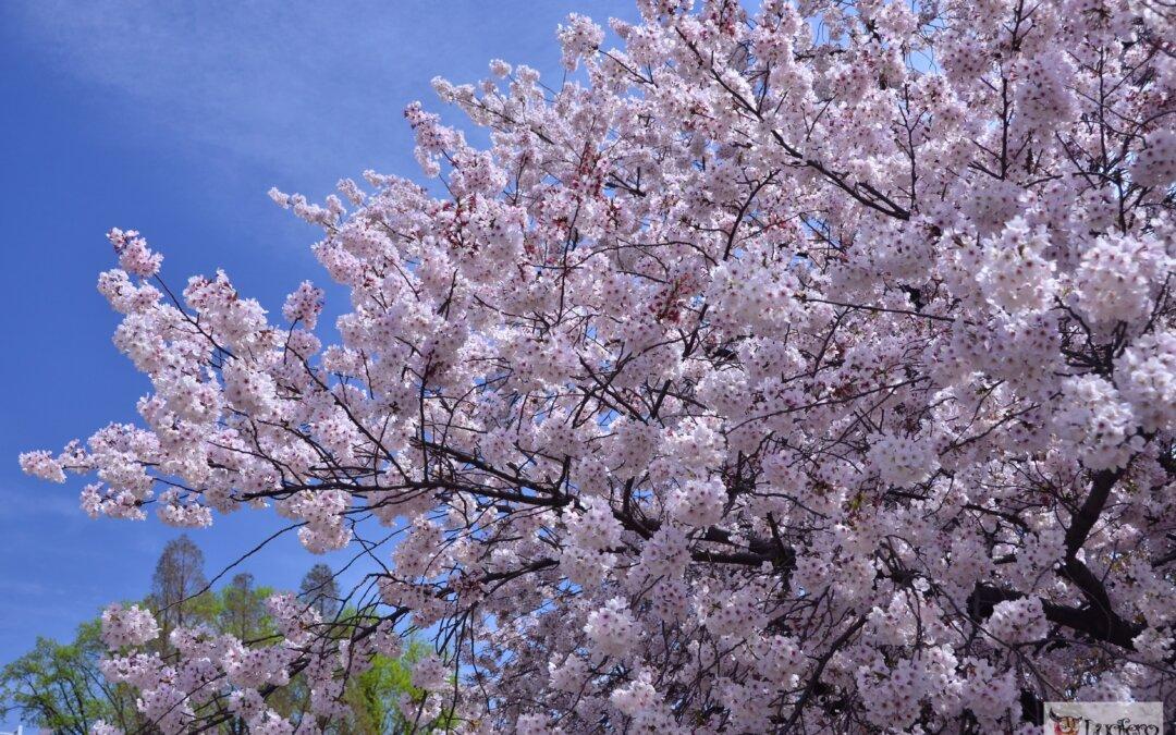 Andare in Giappone per la fioritura dei ciliegi