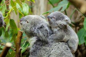 Koala, Kangaroo island_australia_kiaoraviaggi